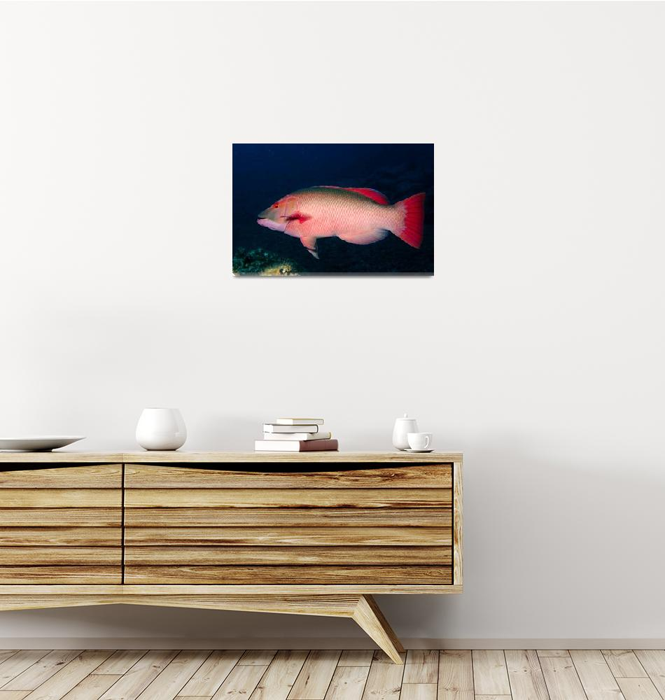 """Male Hogfish""  (2008) by JoaoPonces"