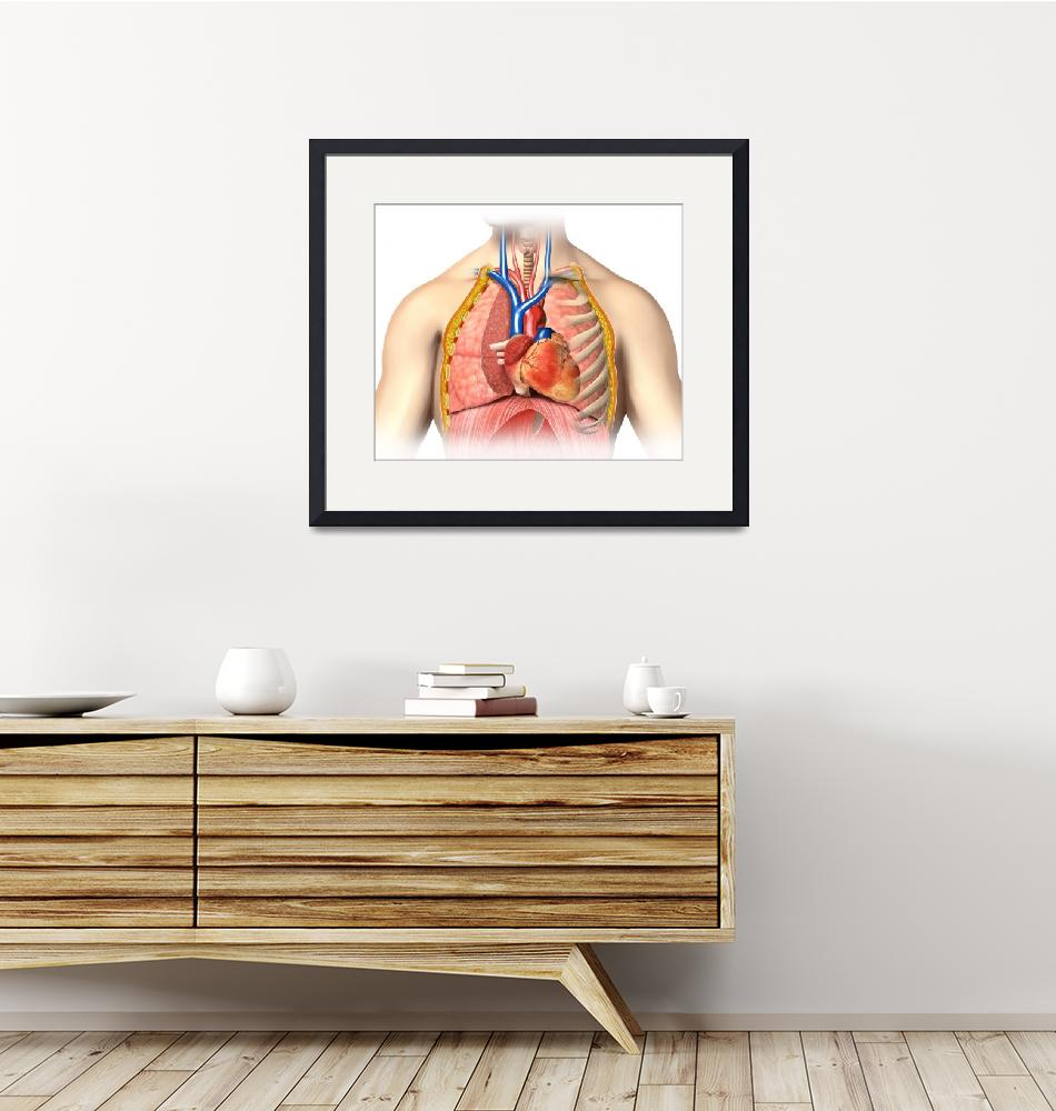 """""""Male chest anatomy of thorax with heart, veins, ar""""  by stocktrekimages"""