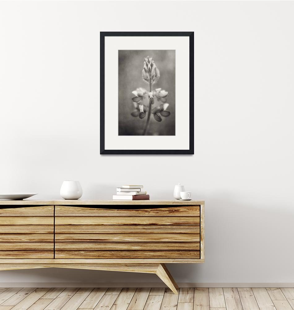 """""""lupine in black and white""""  by Piri"""