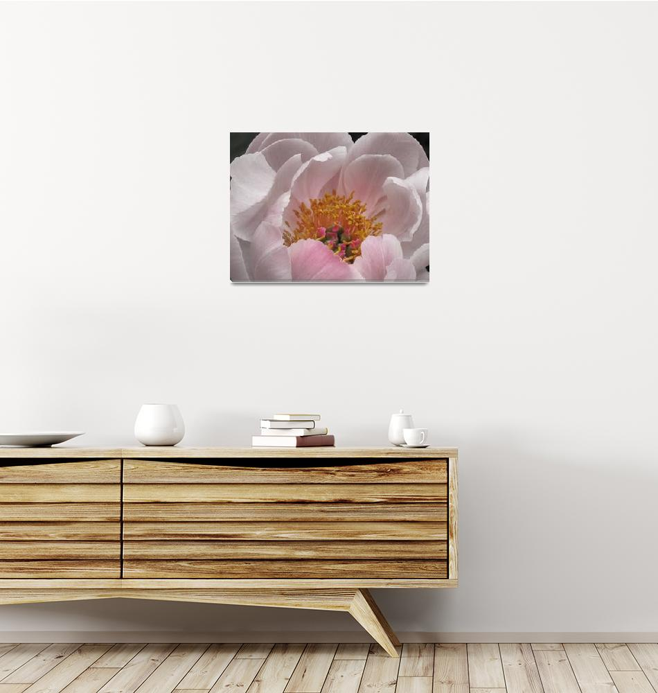 """""""Flowering Peony in Red and white""""  (2008) by garthglazier"""