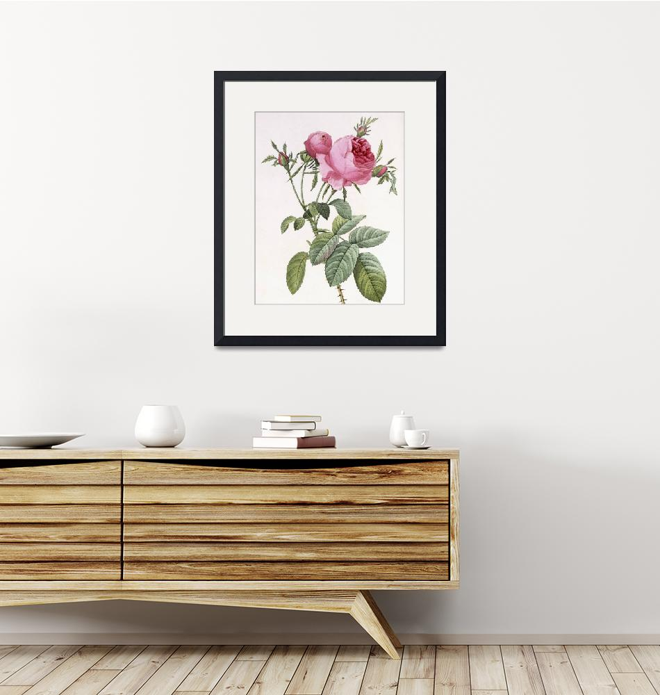 """Rosa centifolia foliacea (hundred leaved/petaled r""  by fineartmasters"