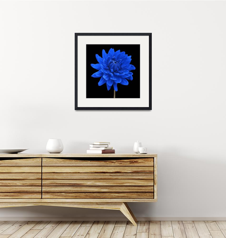 """Blue Dahlia Flower Black Background""  by NatalieKinnear"