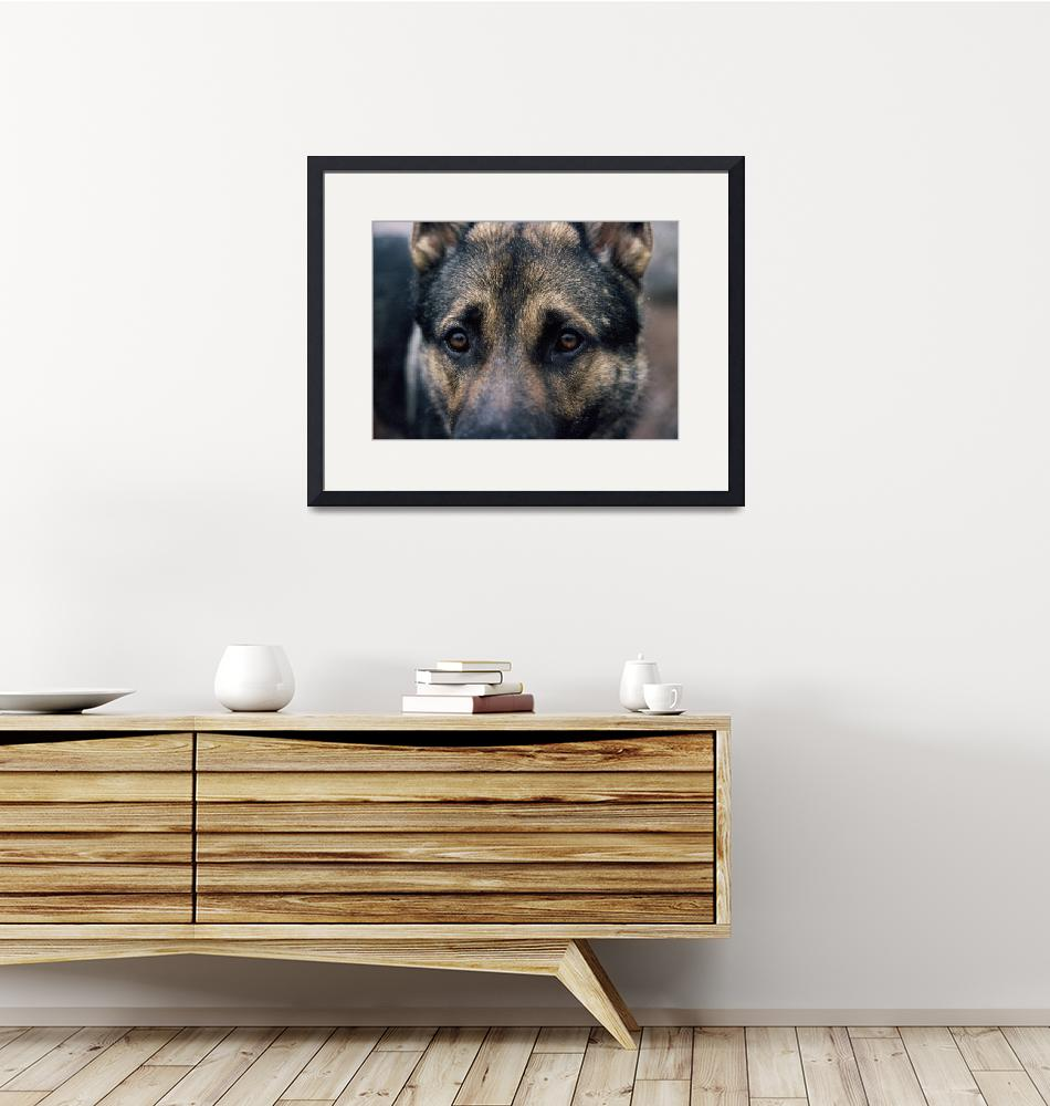 """German Shepherd: The Look""  by maryostudio"