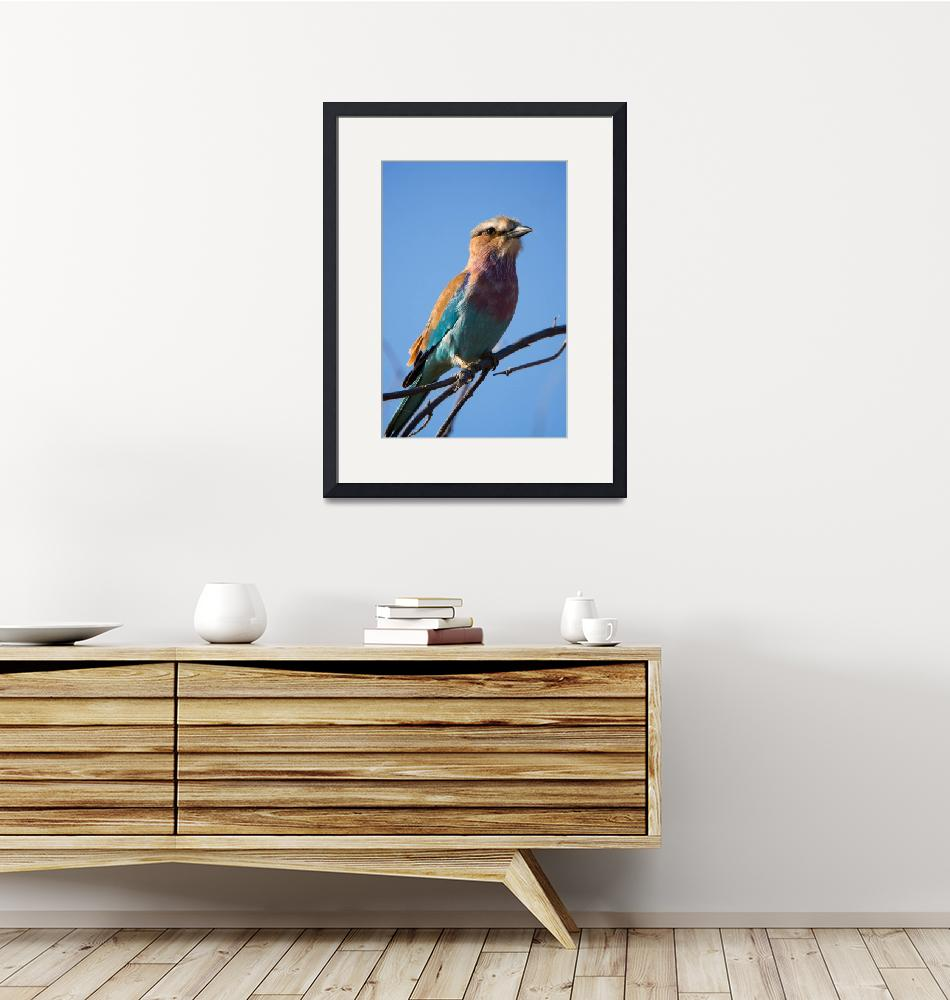 """""""lilac breasted roller""""  by mjtseng"""