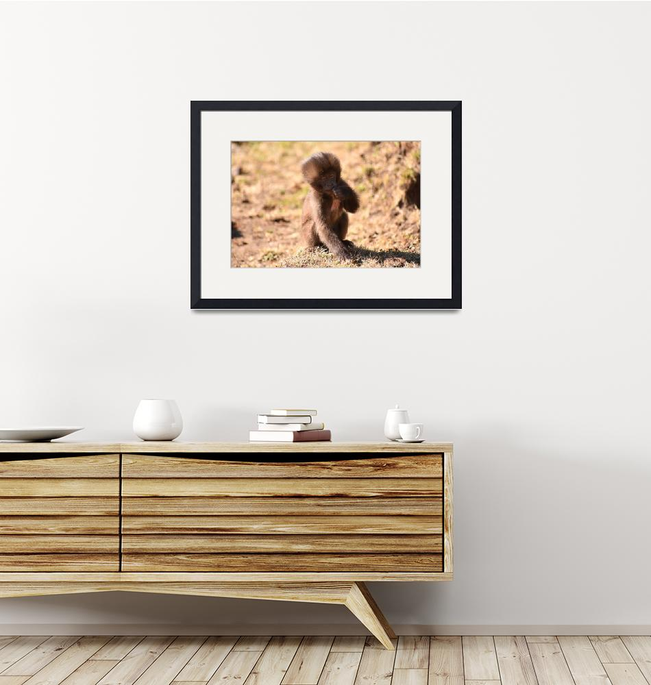 """Baby Gelada baboon looking at the camera, Ethiopia""  (2018) by Mickcarr"