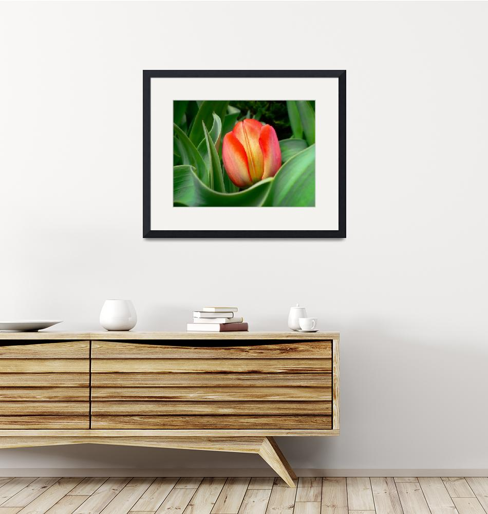 """Close-up of Young Red Tulip Flower w/ Green Leaves""  by Chantal"