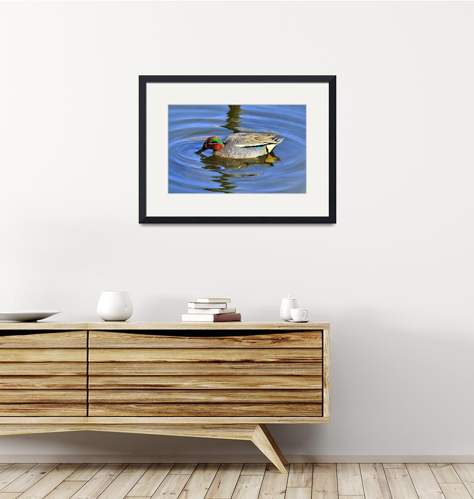 """""""Common Teal (Anas crecca), Male Eating""""  (2014) by JoaoPonces"""