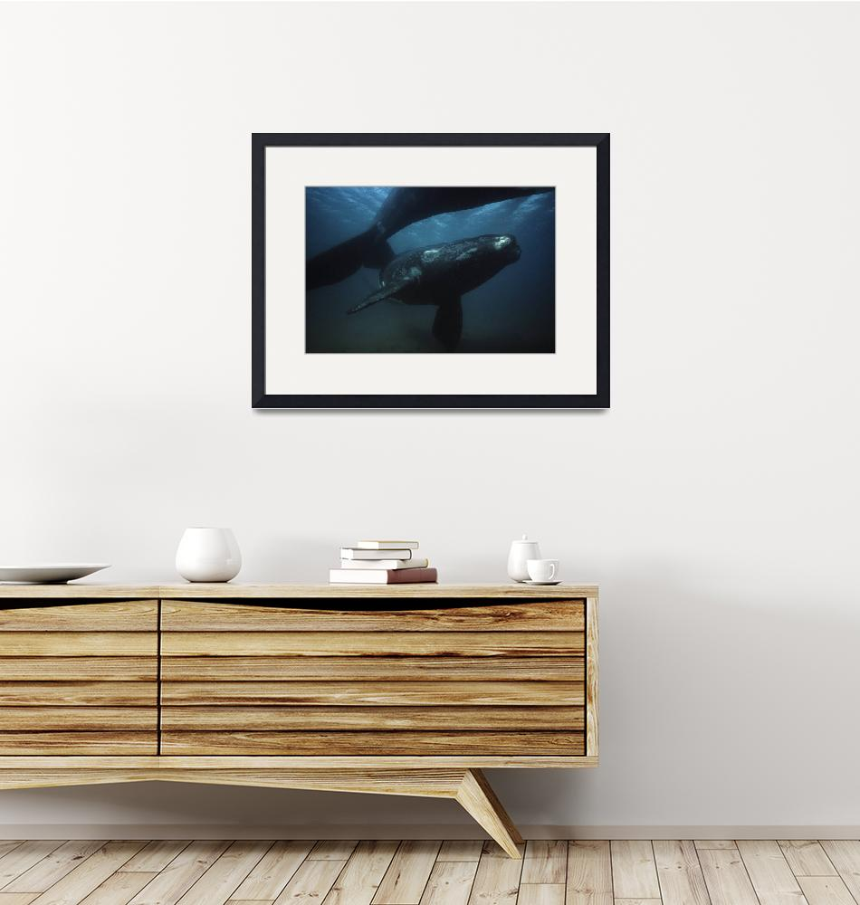 """""""Southern Right Whale 112206HF103""""  by howardwesleyhall"""