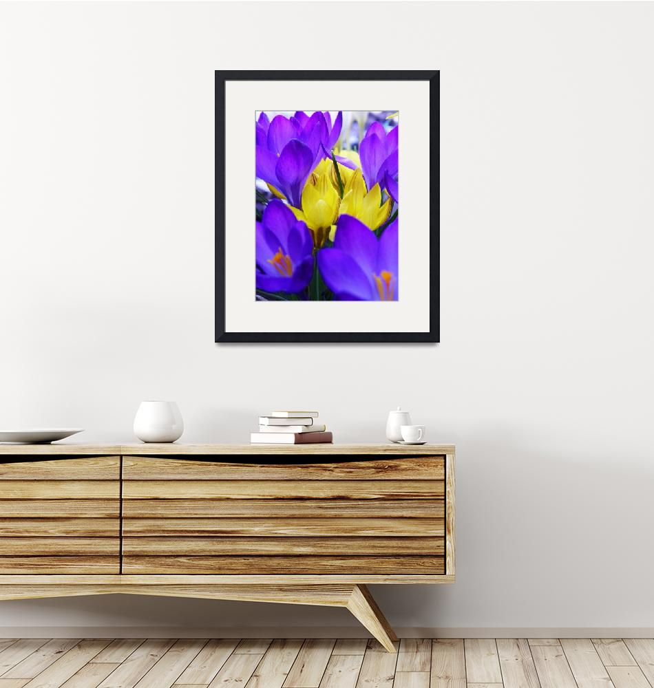 """Crocus Bulbs Spring Flowers""  (2012) by vpicks"