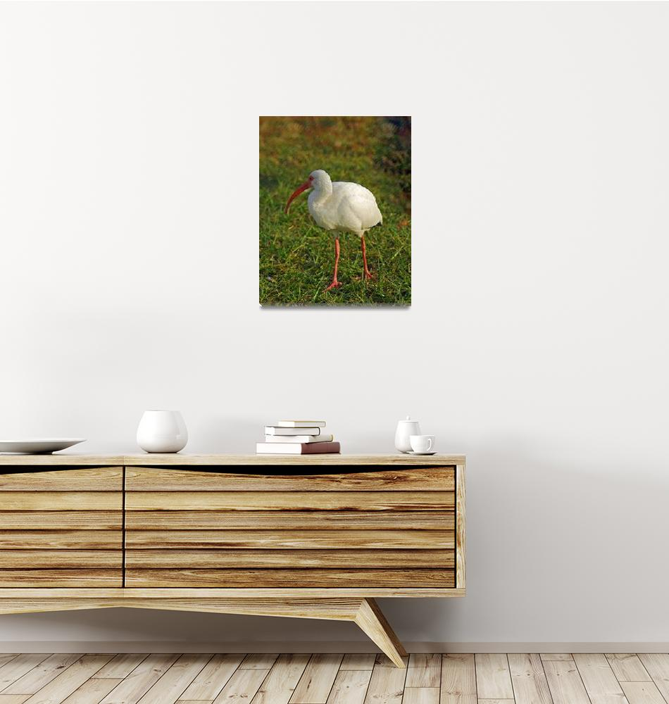 """White Ibis""  (2012) by DBell"