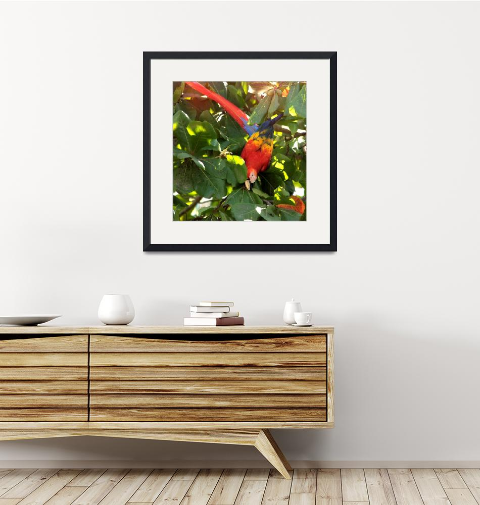"""""""Scarlet Macaw IMG_0923""""  (2014) by rayjacque"""