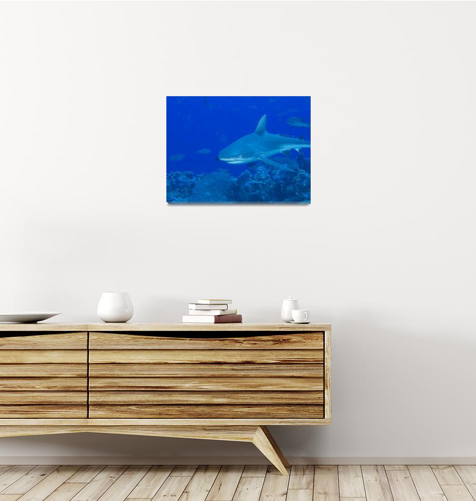 """Gray Reef Shark""  (2009) by Mac"