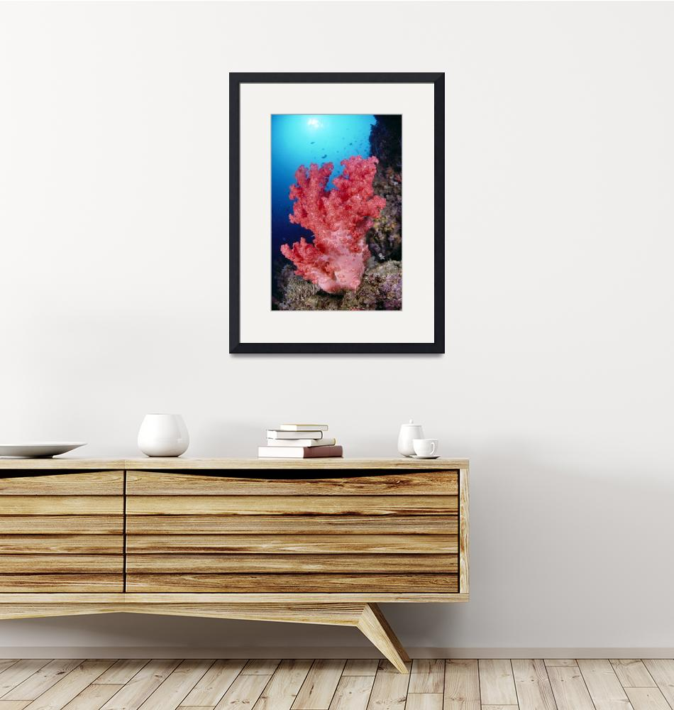 """""""Indonesia, Alcyonarian Coral Large Pink, Reef Scen""""  by DesignPics"""