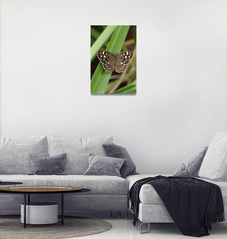 """""""Speckled wood butterfly""""  (2008) by shellyjane"""