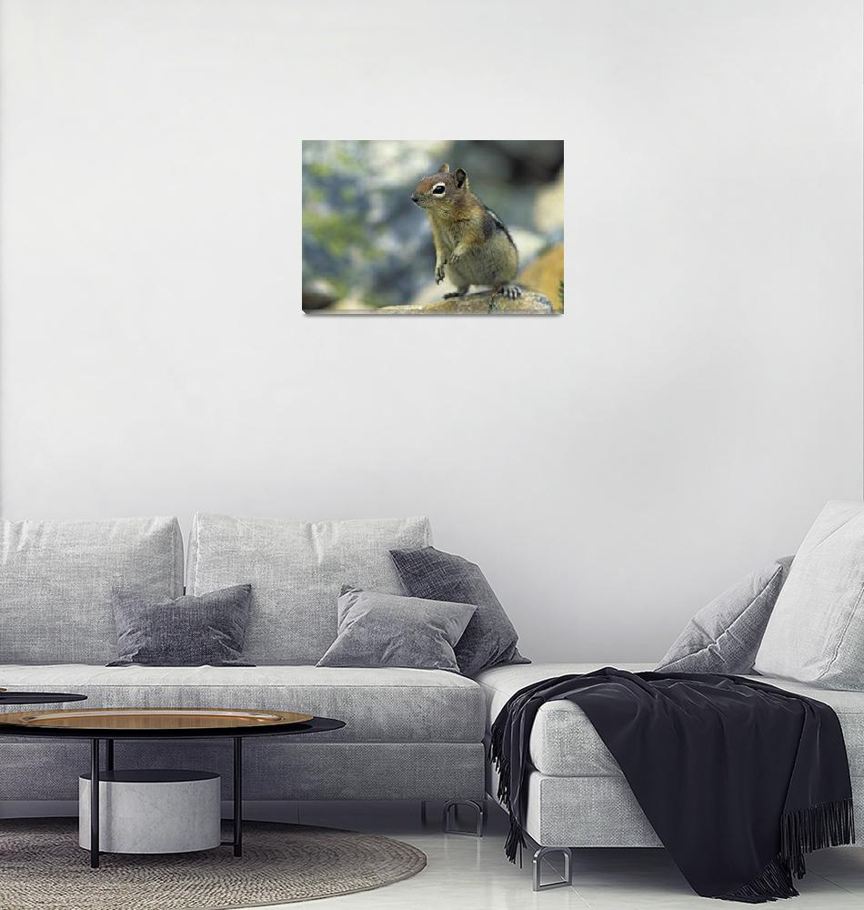 """Golden-Mantled Ground Squirrel, Banff National Par""  by DesignPics"