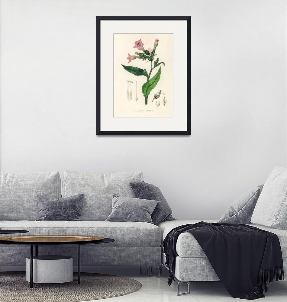 """Vintage Botanical Nicotiana tabacum""  by FineArtClassics"
