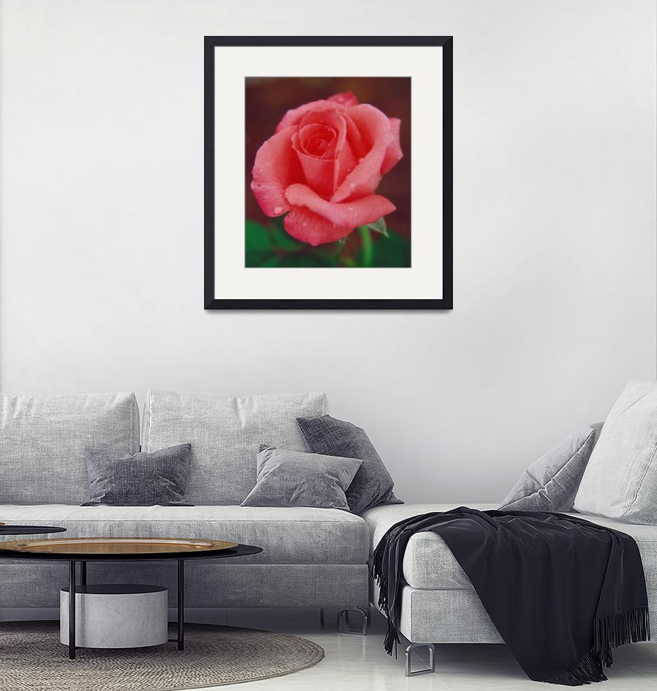 """""""Raindrops on a Coral Rose"""" by loxly"""