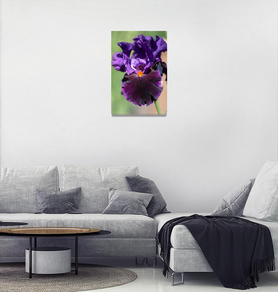 """Dark purple Tall Bearded Iris Local Color""  (2018) by JennyRainbow"