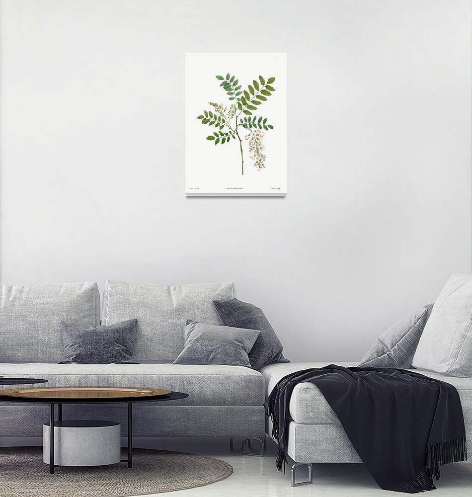 """Acacia Vintage Botanical""  by FineArtClassics"