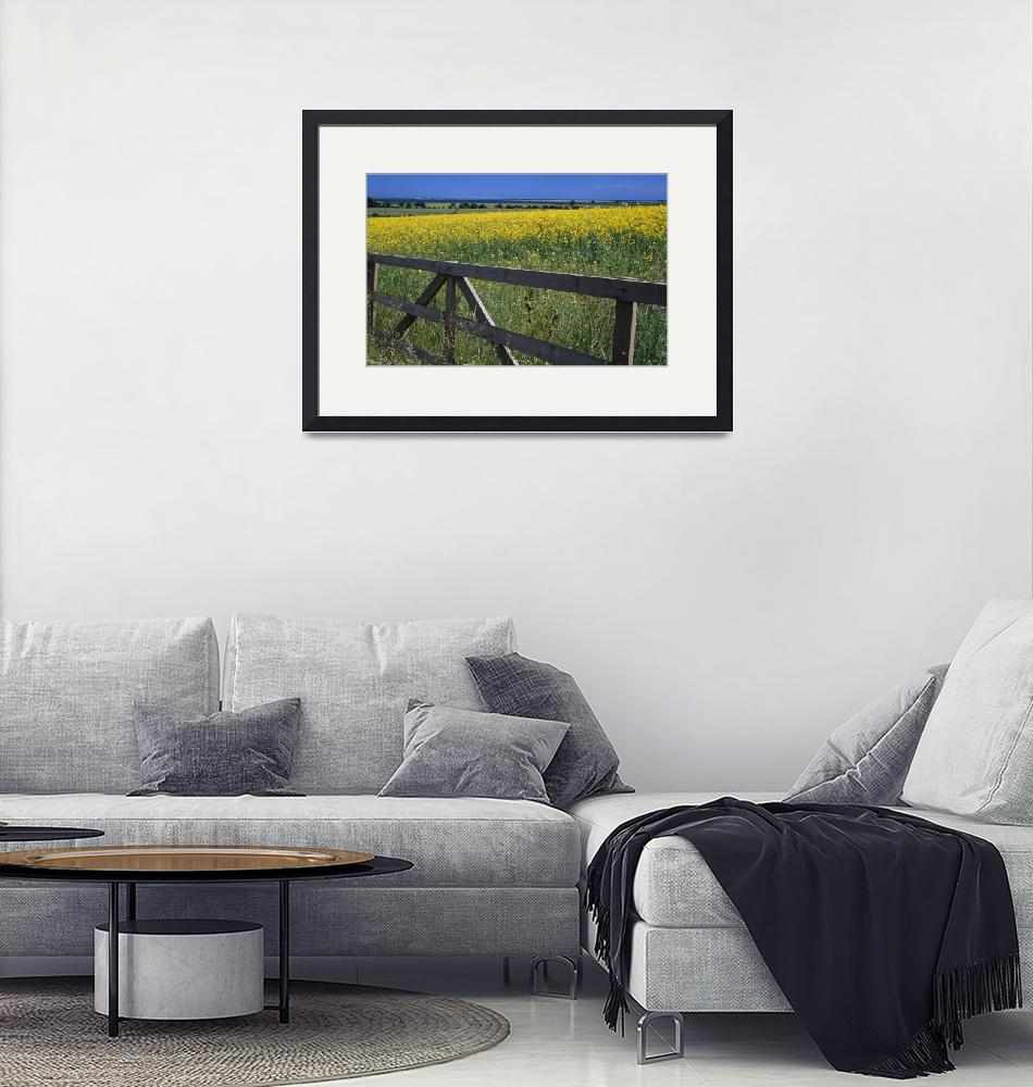 """""""Field of oilseed rape or canola in bloom""""  by Panoramic_Images"""