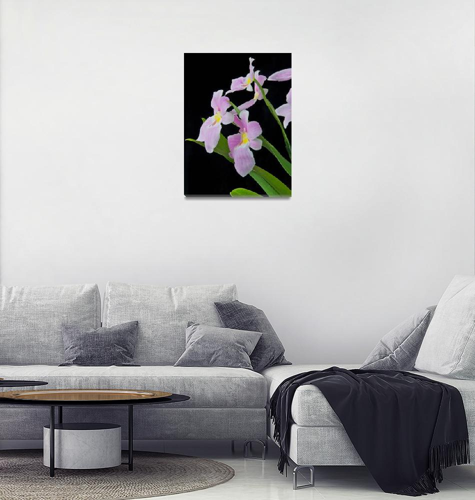 """Miltoniopsis Vexillaria""  (2009) by ImageArt-Photography"