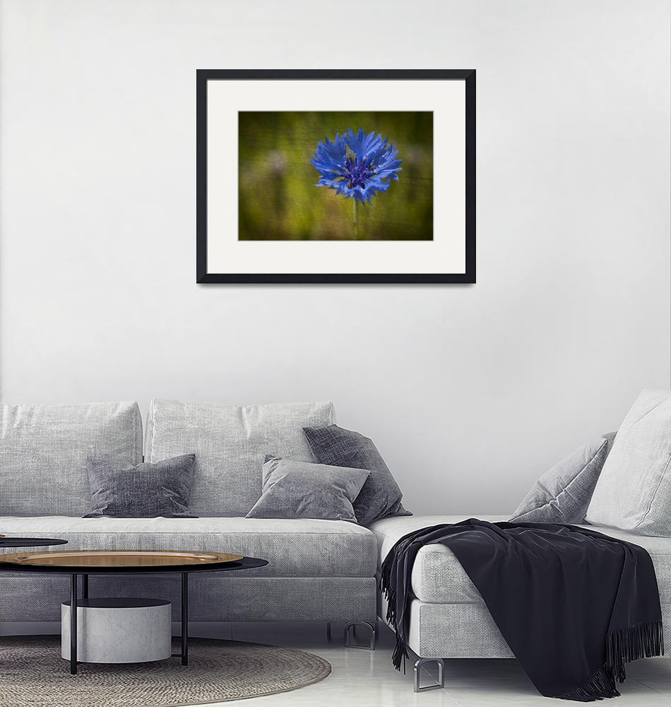 """Blue Cornflower""  by StevePurnell"