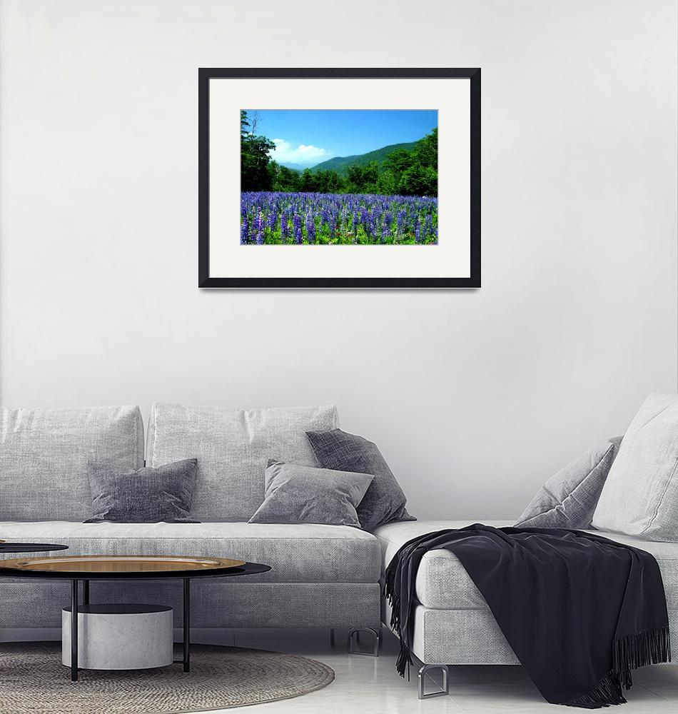 """""""A Field of Lupine Crawford Notch New Hampshire""""  (2007) by christopherbouchard"""