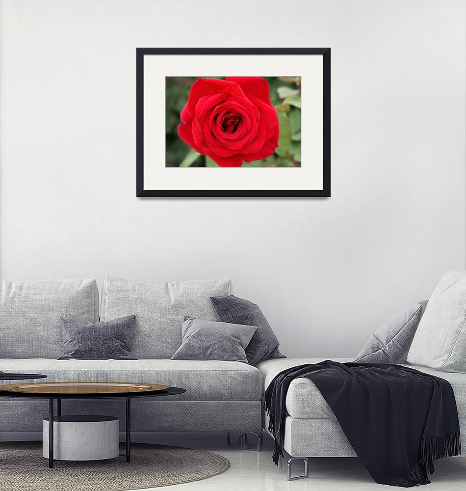 """Red Rose""  (2009) by prestonjr"