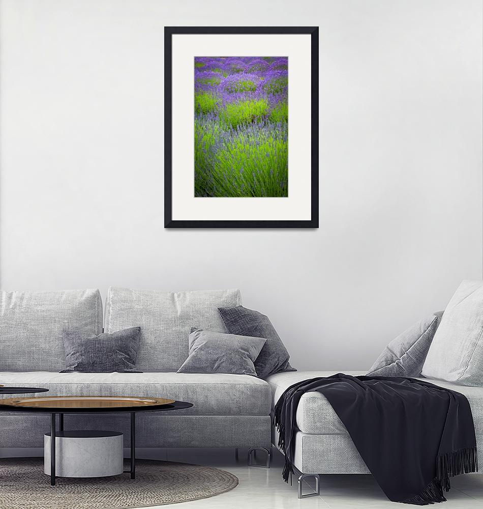 """Lavender Study""  (2011) by Inge-Johnsson"