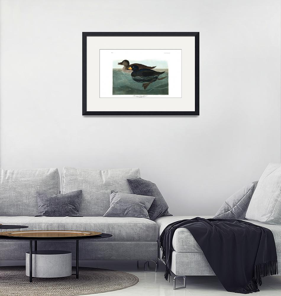"""Audubon American Scoter Duck""  by ArtistiquePrints"