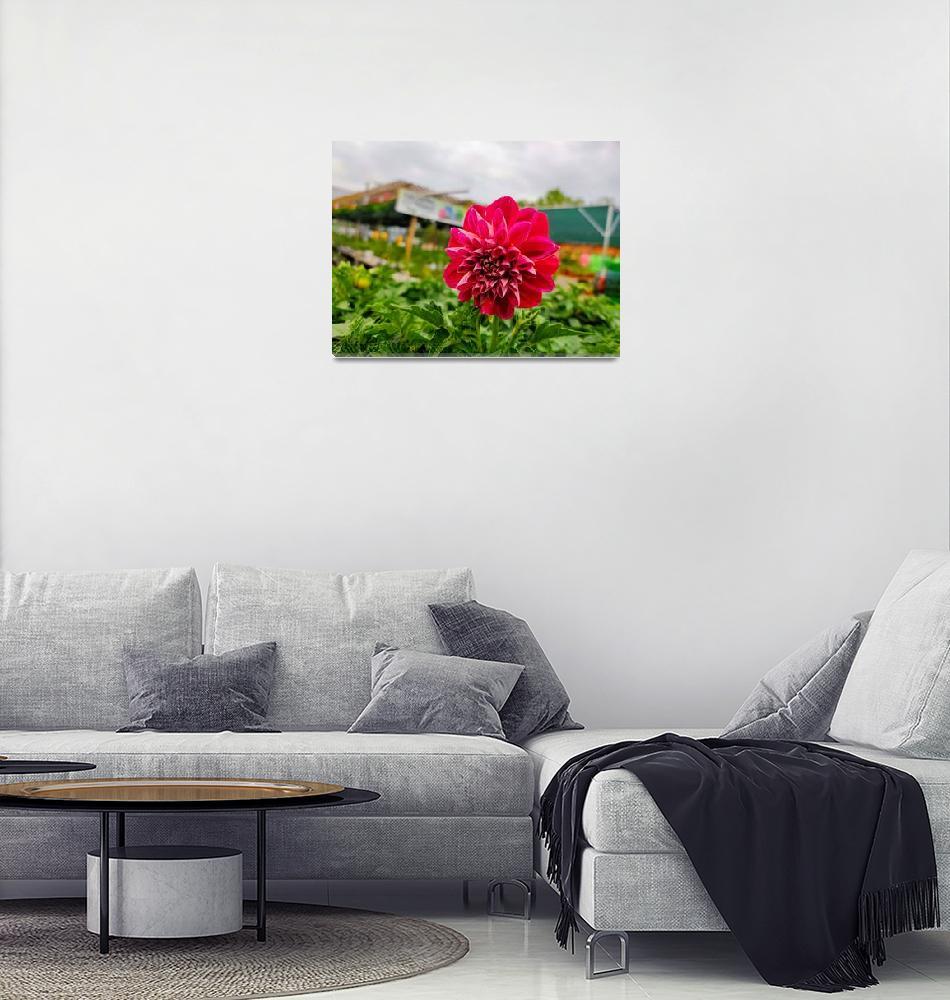 """Pink Dahlia""  (2019) by ReflectedMemories"