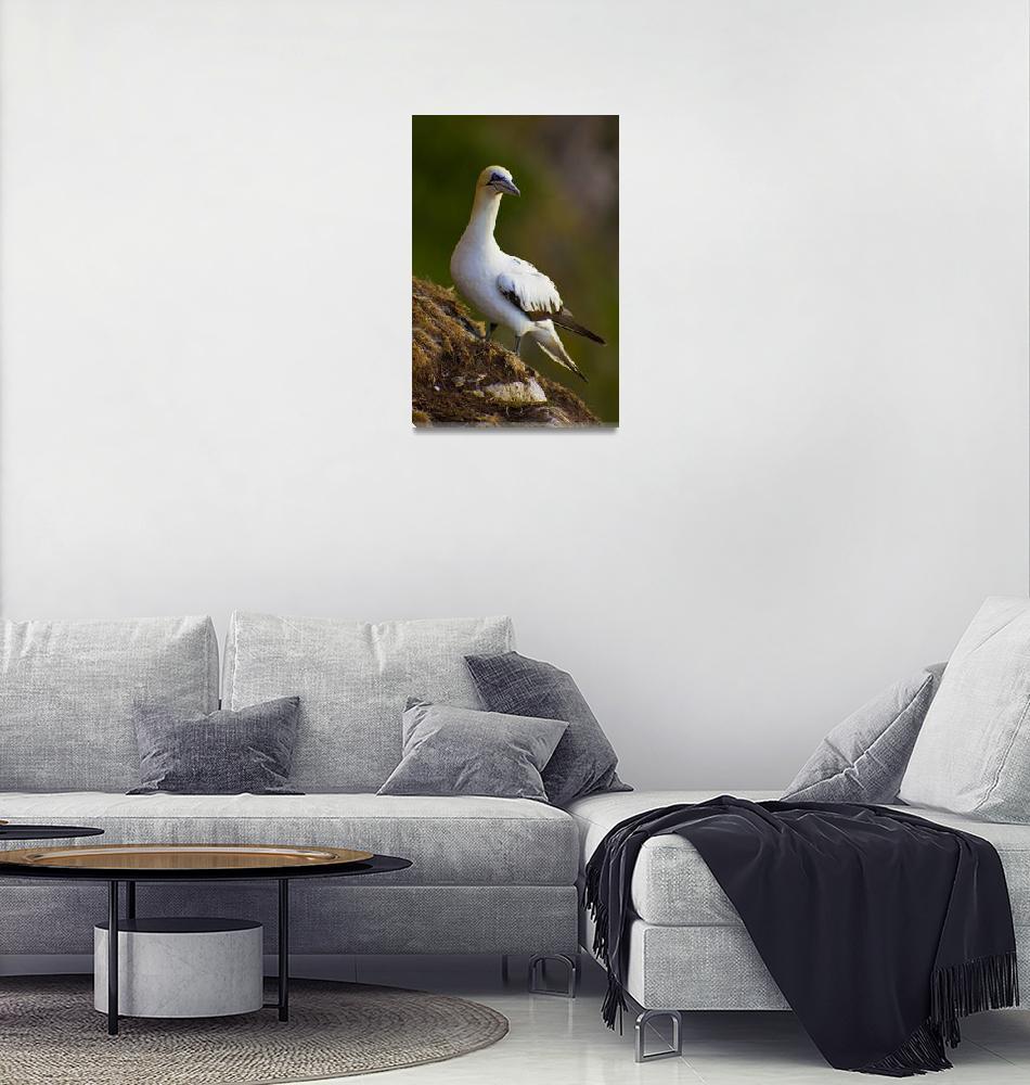 """Northern Gannet (Morus bassanus) sitting on cliff""  (2010) by kingafoto"