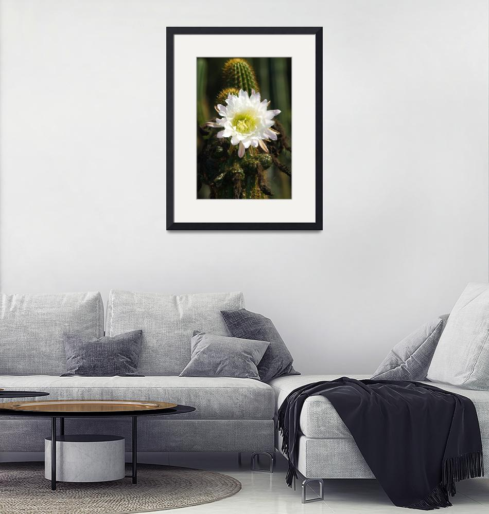 """""""White Cactus flower bloom""""  by eyalna"""