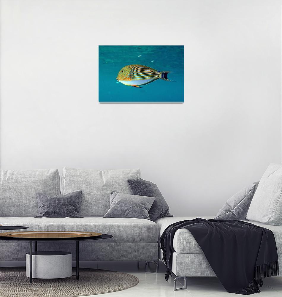 """""""Maldives Razorfish""""  (2006) by JoaoPonces"""