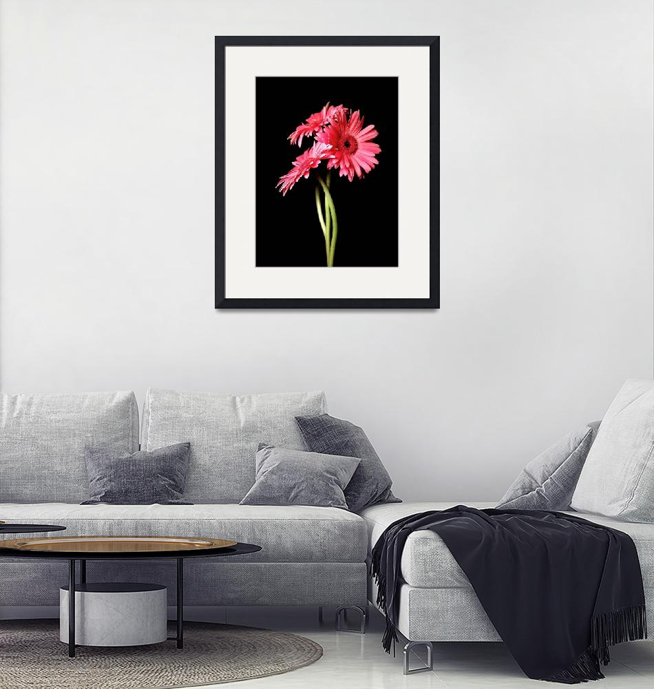 """""""Pink Gerbera Daisies Encounter""""  (2006) by Infomages"""