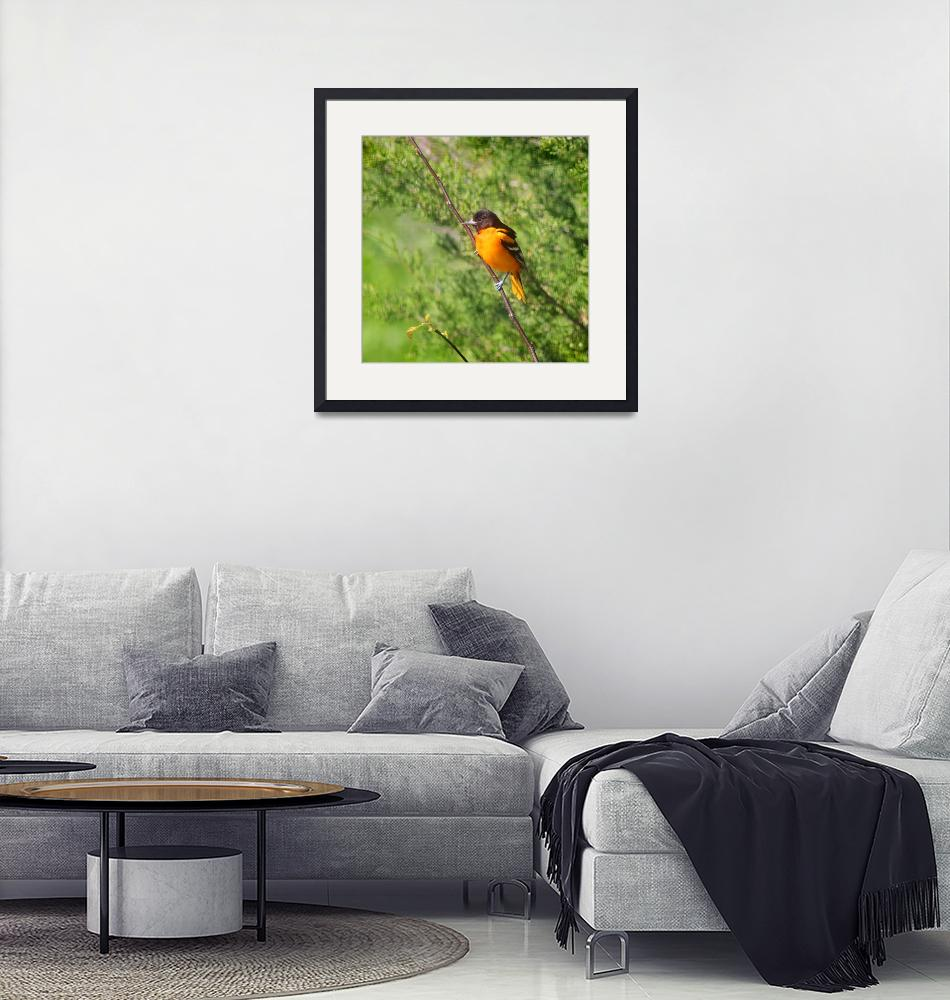 """""""Baltimore Oriole on Tree Branch Square Format""""  (2013) by KsWorldArt"""
