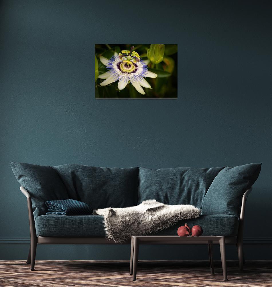 """""""Passiflora caerulea""""  (2010) by MarcoPoggioli"""