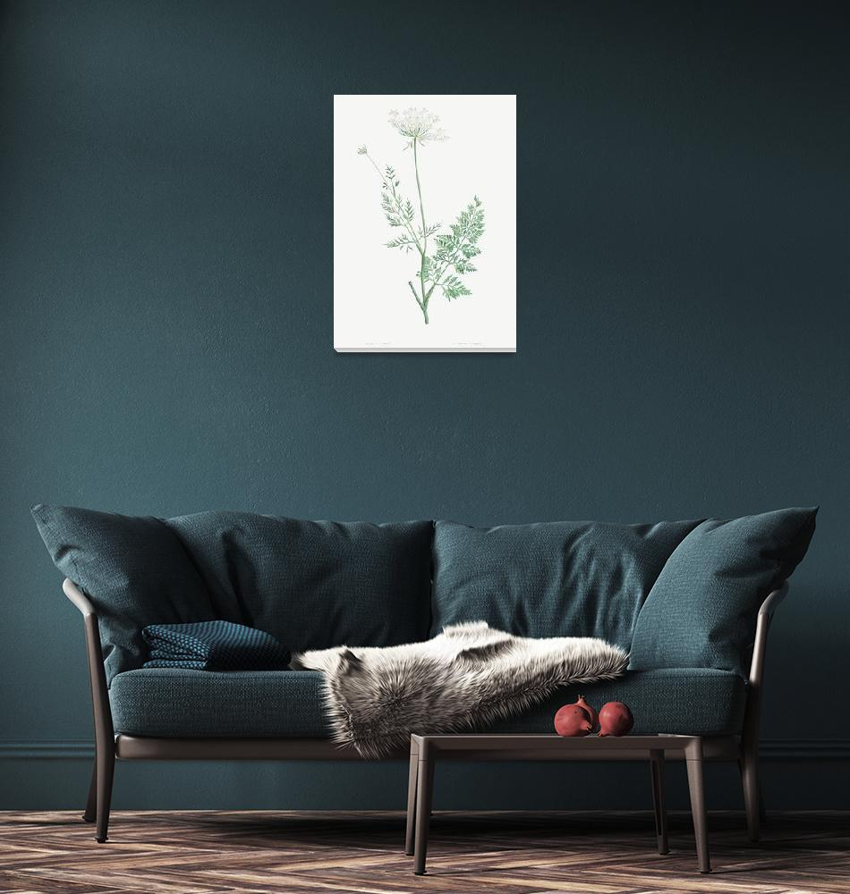 """""""Wild Carrot Vintage Botanical""""  by FineArtClassics"""