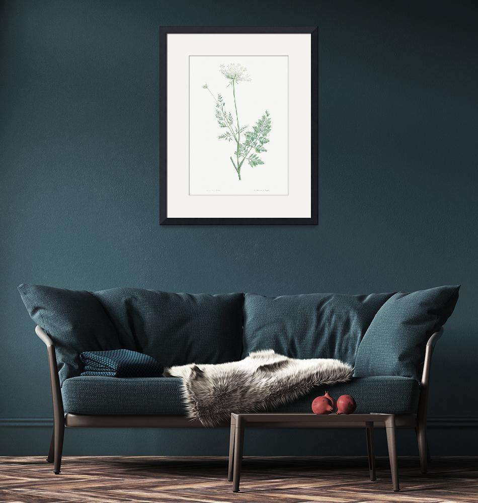 """Wild Carrot Vintage Botanical"" by FineArtClassics"