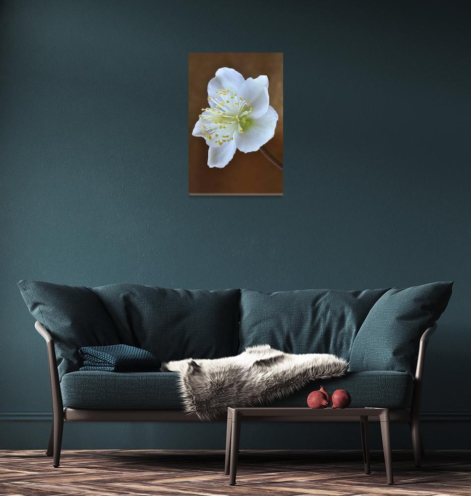 """terencedavis floralart  Helleborus Niger""  (2012) by terencedavis"