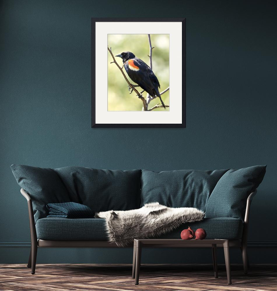 """MALE REDWINGED BLACKBIRD""  (2010) by ROBERTSCOTTPHOTOGRAPHYY"