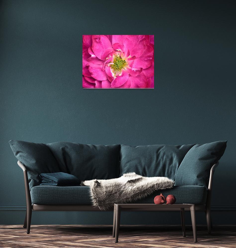 """Fuschia Rose Petals & Stamens ~ Flower Close-up""  by Chantal"