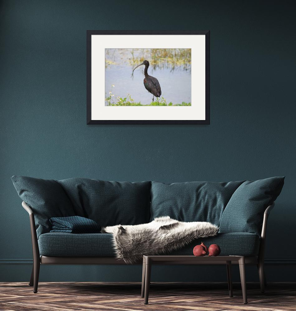 """""""Glossy Ibis""""  (2010) by DoubleDPhotography"""