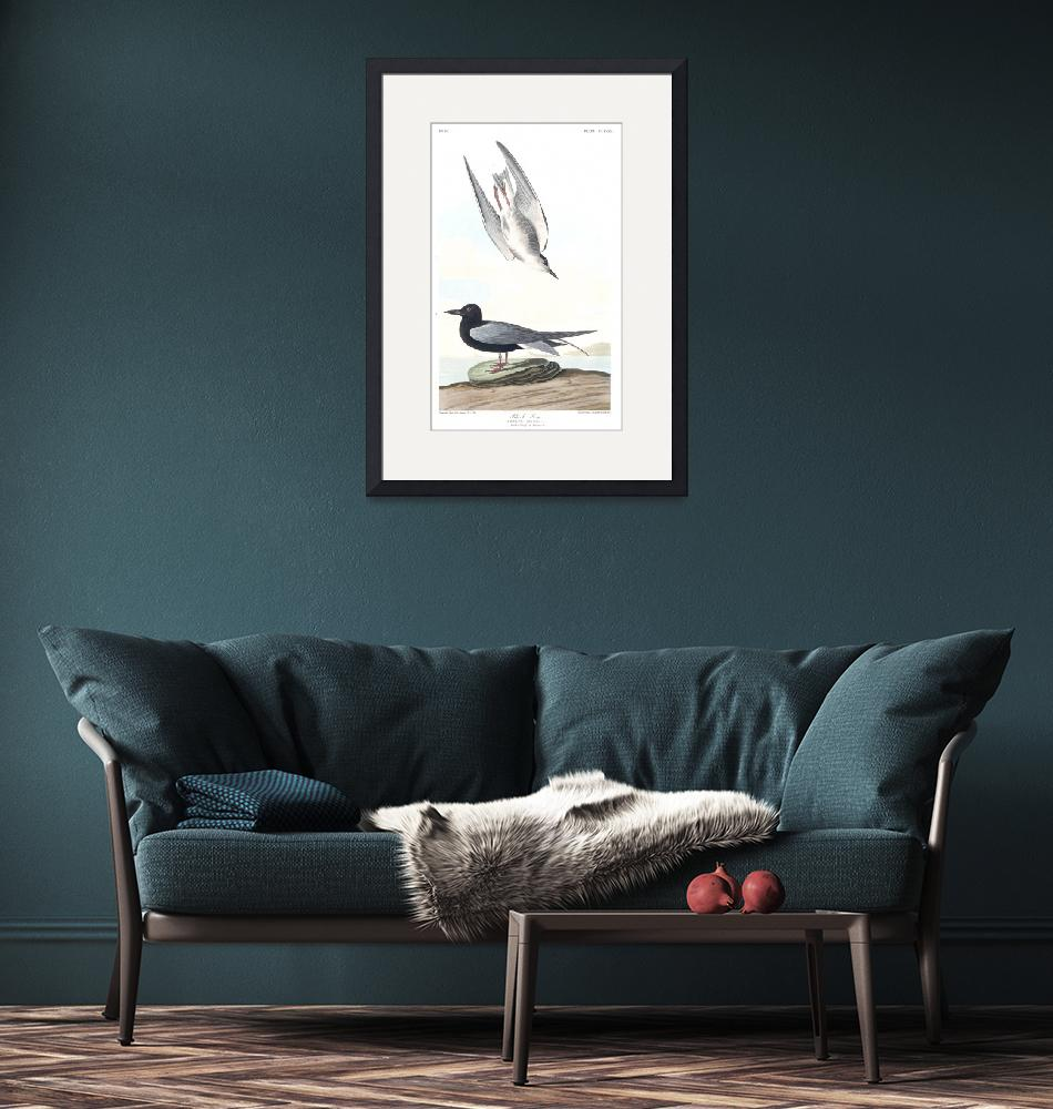 """Black Tern, Plate 280""  by FineArtClassics"