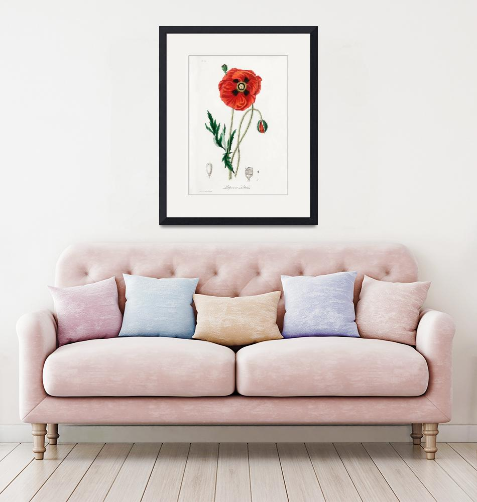 """Vintage Botanical Common poppy""  by FineArtClassics"