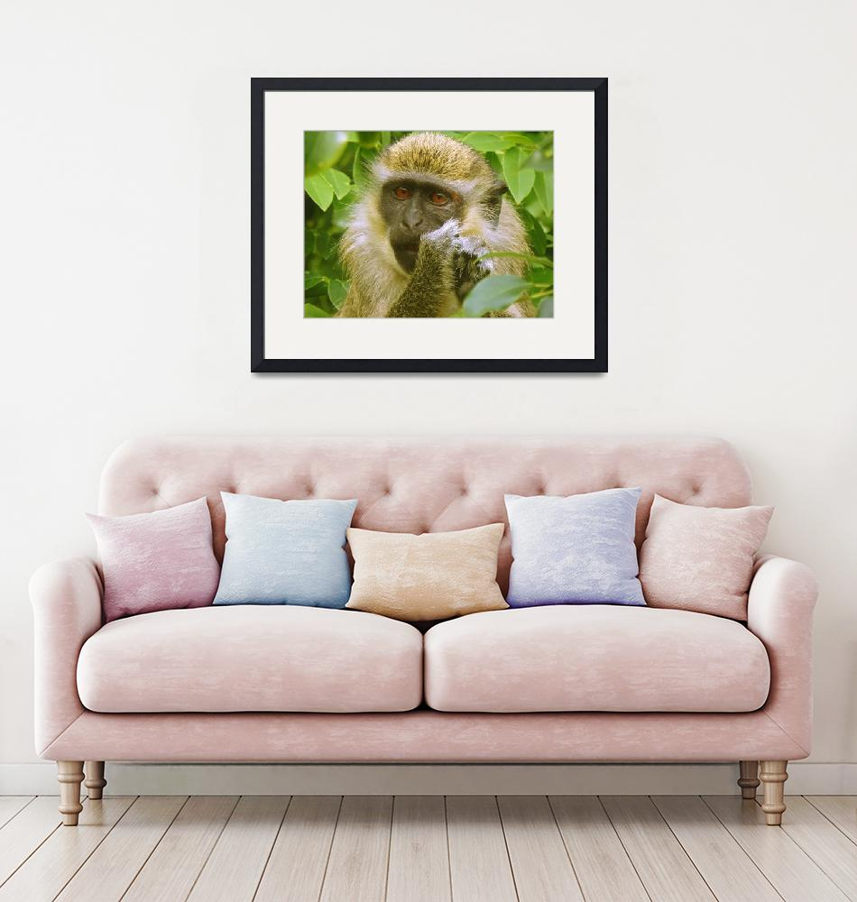 """""""African Green Vervet Monkey Eating""""  (2018) by PixiePea"""
