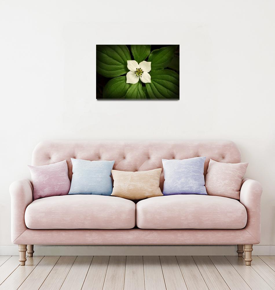 """Close up Dwarf Dogwood flower in full bloom, Alask""  by DesignPics"