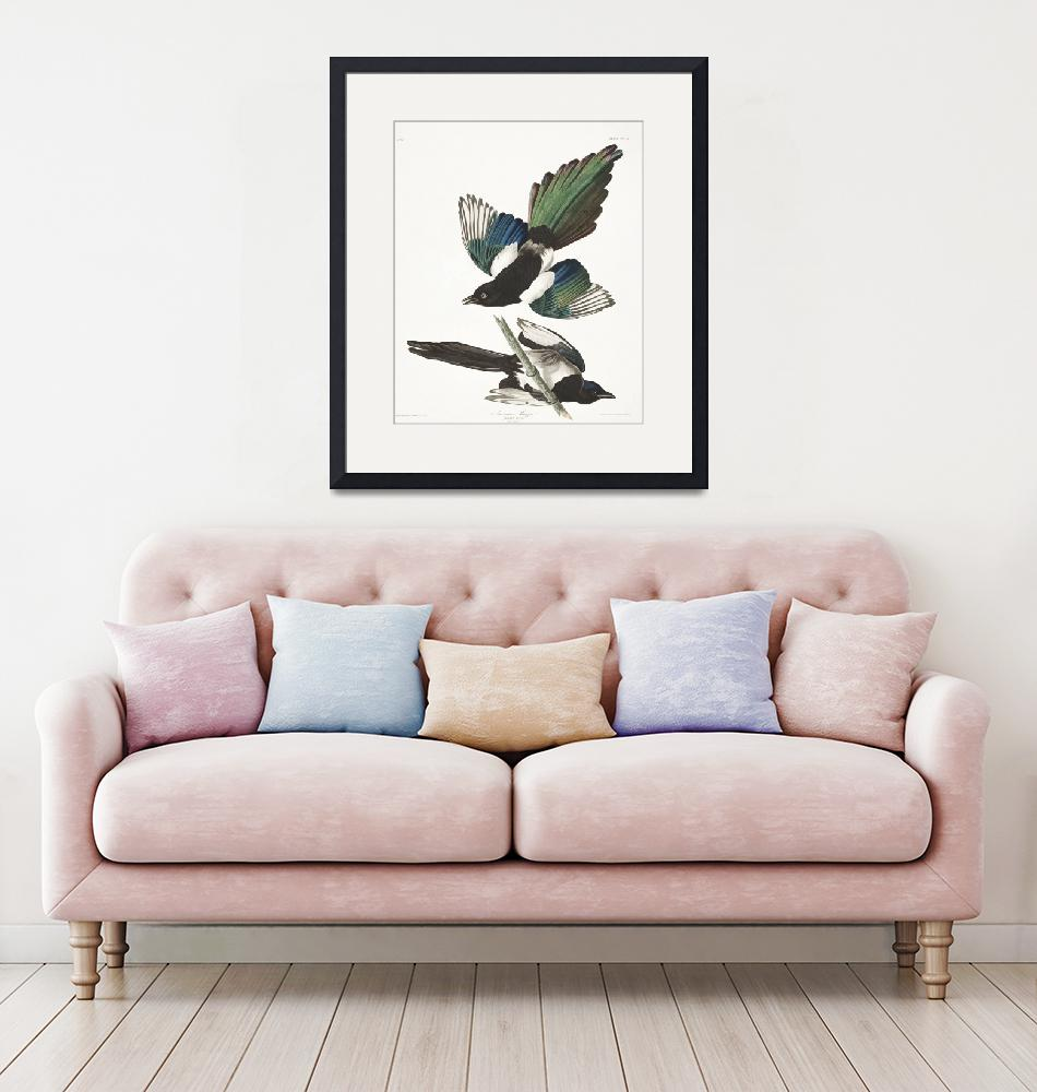"""""""American Magpie, Plate 357"""" by FineArtClassics"""