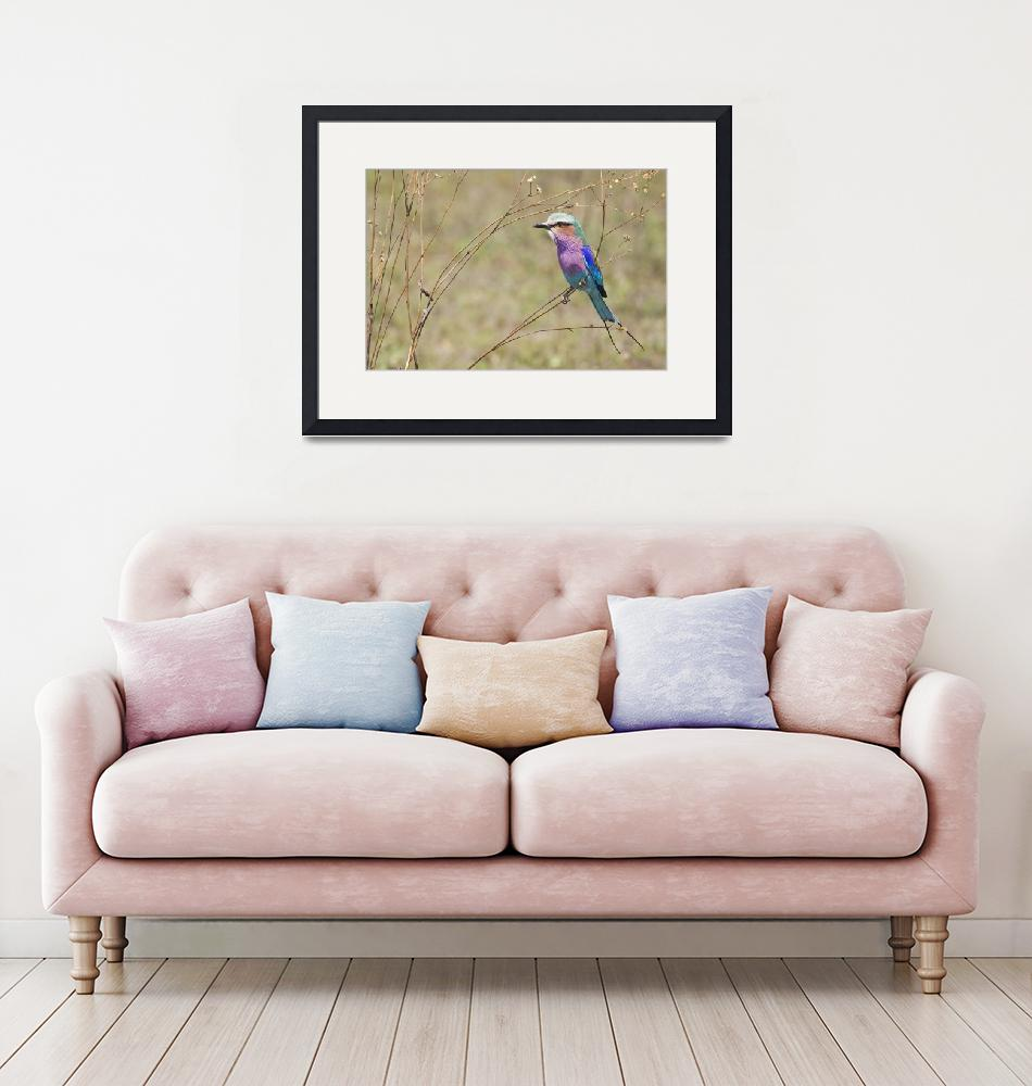 """""""lilac breasted roller4 8x12""""  by monaco"""