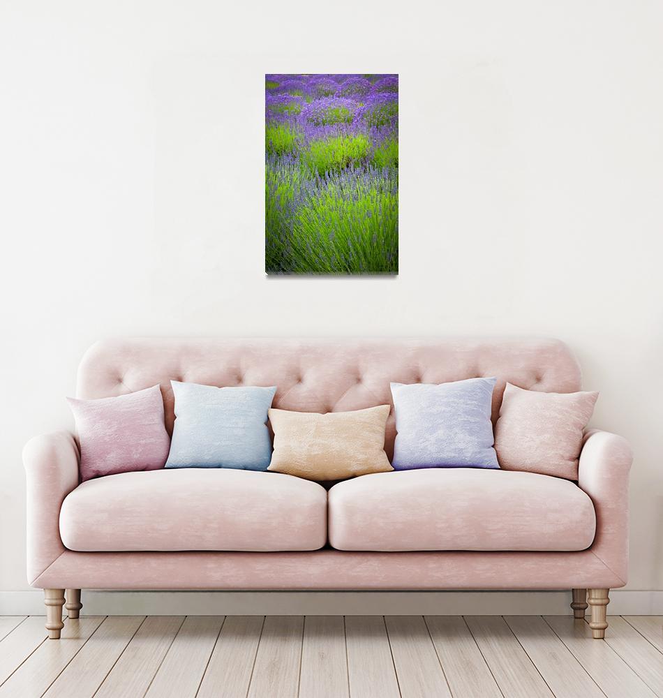 """Lavender Study""  (2011) by Inge-Johnsson"